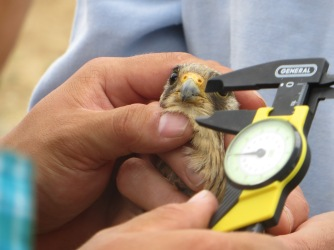 Prior to banding and release, careful measurements are being made of this lesser kestrel.