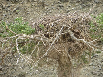 Nests of the Cinereous vulture (Aegypius monachus) can be massive dwarfed only by the birds themselves with 10 foot wingspans