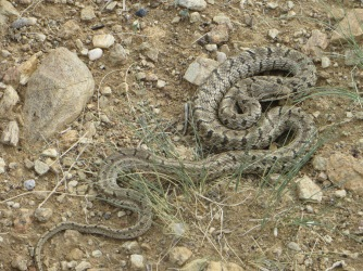 There are three snake species found in Ikh Nart. Often mistaken for the venomous Central Asian viper, the very similar but harmless, Palla's coluber (depicted here) is more frequently encountered.