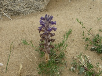 This beautiful native plant is a type of saprophyte that derives nutrition from decaying organic matter.