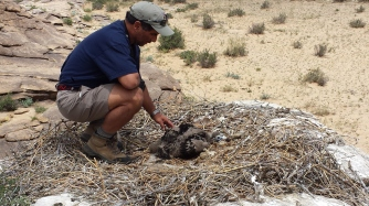This researcher, who is Curator of birds at the Denver zoo, is calming down a young Cinereous vulture prior to taking measurements and banding