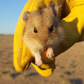 …as well as this Mongolian hamster (Allocricetulus curtatus)
